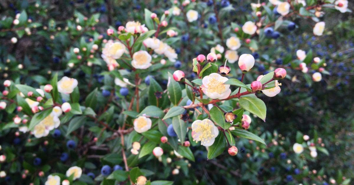 Myrtle Plant History And Uses Key Essence