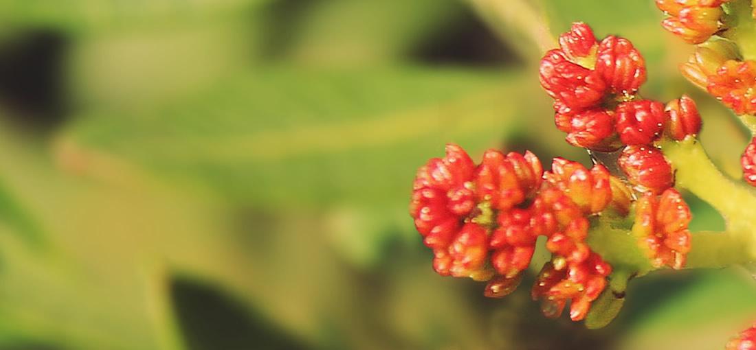 Plant Lentisk